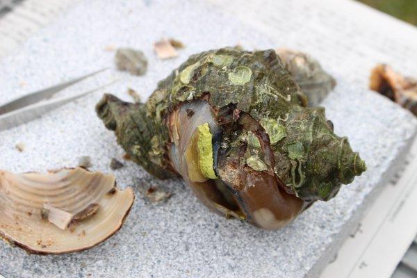 """ちくちく・おしか on Twitter: """"(続き)日本国内では、かつては弥生人も使っていたようす。現在では、三重県・志摩地方の海女さんたちが、漁の際身につけるてぬぐいに、貝紫を使って魔よけの印をつけるそうです。 http://t.co/oYp56lbsT8"""" (3377)"""