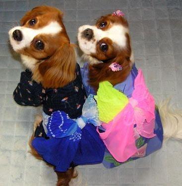 犬 服 Dog's wear 代官山Nahomilly 本格着物 犬の浴衣(ゆかた) 女の子用 : 《画像》犬見てキュンキュンしたら負け《かわいい》随時更新 - NAVER まとめ (4774)