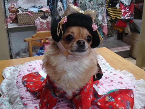 犬の洋服と着物、犬の美容室のお店  ★ペットファッション ミルキー★ (4801)
