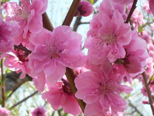 桃の花言葉は【天下無敵・気立てのよさ・愛嬌】